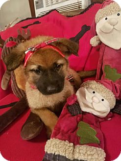 German Shepherd Dog/Rottweiler Mix Puppy for adoption in Detroit, Michigan - Redda-Adopted!