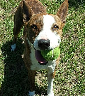 Australian Kelpie/Bull Terrier Mix Dog for adoption in Orange Lake, Florida - Miss Tess