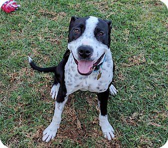Pit Bull Terrier/Boxer Mix Dog for adoption in Yorba Linda, California - Pepper (female)