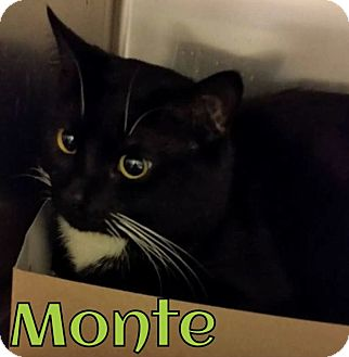 Domestic Shorthair Cat for adoption in Taylor, Michigan - MONTIE