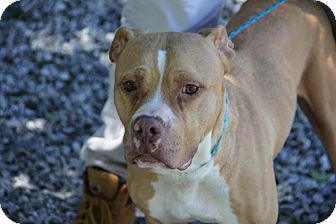 Pit Bull Terrier Mix Dog for adoption in Greensboro, North Carolina - Genie