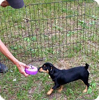 Miniature Pinscher Mix Puppy for adoption in Chicago, Illinois - Blair - an adorable little