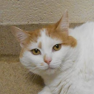 Domestic Shorthair/Domestic Shorthair Mix Cat for adoption in Wooster, Ohio - Spider