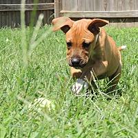 Adopt A Pet :: Damon - Joplin, MO