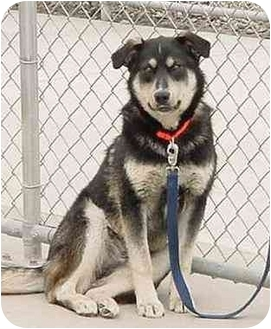 Husky/Retriever (Unknown Type) Mix Dog for adoption in Austin, Minnesota - Jake
