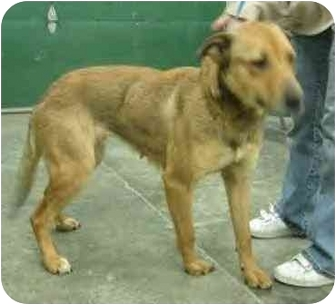 German Shepherd Dog/Collie Mix Dog for adoption in Anderson, Indiana - Mallory