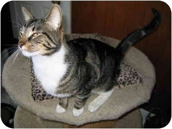 Domestic Shorthair Cat for adoption in North Boston, New York - Peter