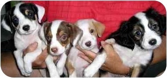Terrier (Unknown Type, Small)/Australian Cattle Dog Mix Puppy for adoption in Overland Park, Kansas - Sugar's Spice Pups
