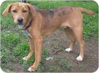 Beagle Mix Puppy for adoption in High View, West Virginia - Jasper