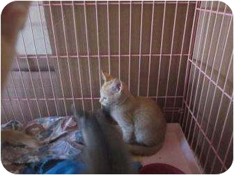 Domestic Shorthair Kitten for adoption in Tucson, Arizona - Betty