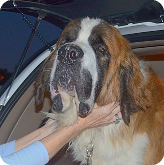 St. Bernard Dog for adoption in Bellflower, California - Jerry