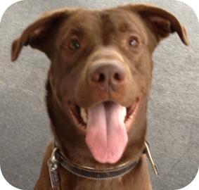 Labrador Retriever Mix Dog for adoption in Ithaca, New York - Archie