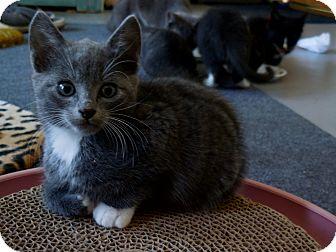 Domestic Shorthair Kitten for adoption in CARVER, Massachusetts - Ty