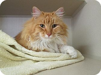 Domestic Mediumhair Cat for adoption in Lloydminster, Alberta - Tiger