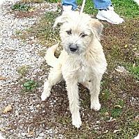 Adopt A Pet :: Scruffy - Toronto/Etobicoke/GTA, ON
