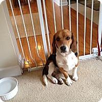 Adopt A Pet :: Clover - Alexandria, VA