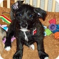 Adopt A Pet :: Pippi - Tallahassee, FL
