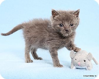 Domestic Mediumhair Kitten for adoption in Las Vegas, Nevada - Nautilus
