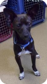 Chihuahua Mix Dog for adoption in Corvallis, Oregon - Nick