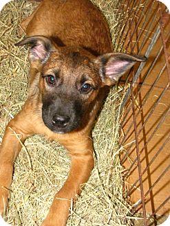 Australian Cattle Dog Mix Puppy for adoption in Gainesville, Florida - Caputo