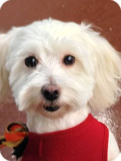 Maltese/Poodle (Miniature) Mix Dog for adoption in Encino, California - Romeo