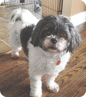 Shih Tzu Mix Dog for adoption in Mississauga, Ontario - Chanel