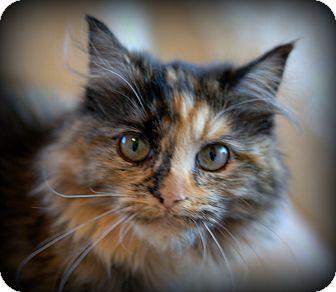 Domestic Longhair Kitten for adoption in Allentown, Pennsylvania - Strudel (SC)