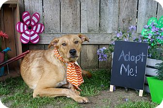 Labrador Retriever Mix Dog for adoption in Darlington, South Carolina - Mr. Owl