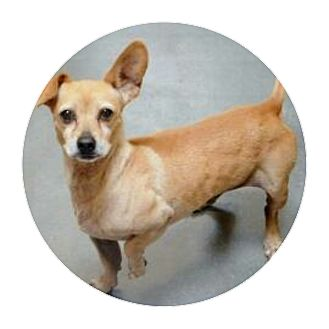Chihuahua/Dachshund Mix Dog for adoption in Fallbrook, California - Hank