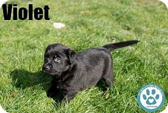Shepherd (Unknown Type)/Labrador Retriever Mix Puppy for adoption in Kimberton, Pennsylvania - Violet