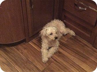 Poodle (Miniature) Dog for adoption in Oakland, Florida - Scrufffy
