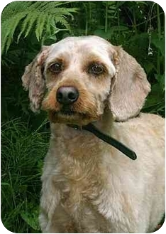 Cockapoo/Cocker Spaniel Mix Dog for adoption in Ladysmith, Wisconsin - Benji