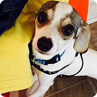 Adopt A Pet :: Nico - Beavercreek, OH