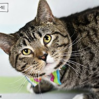 Domestic Shorthair Cat for adoption in Wayne, Pennsylvania - Skip
