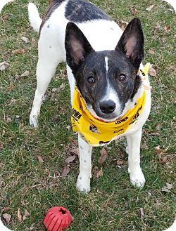 Terrier (Unknown Type, Small)/Australian Cattle Dog Mix Dog for adoption in Lisbon, Iowa - Houser