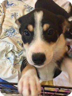 Border Collie Mix Puppy for adoption in Boca Raton, Florida - Anna