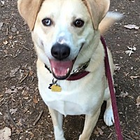 Labrador Retriever/Husky Mix Dog for adoption in Rockaway, New Jersey - Dylan