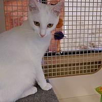 Adopt A Pet :: Cupid - Bridgeton, MO