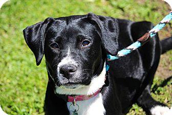 Labrador Retriever Mix Dog for adoption in Brattleboro, Vermont - Haddy