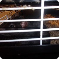 Rat for adoption in Raleigh, North Carolina - Gloria
