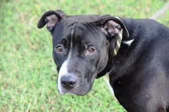 American Pit Bull Terrier Mix Dog for adoption in Ridgely, Maryland - Maxie