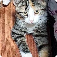 Adopt A Pet :: Tiger Lily - Hazlet, NJ
