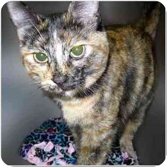 Domestic Shorthair Cat for adoption in San Clemente, California - GUINNESS