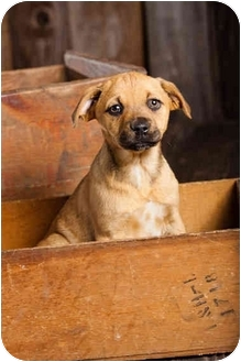Australian Cattle Dog/Boxer Mix Puppy for adoption in Portland, Oregon - Baby Buttercup