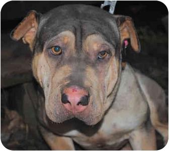 Shar Pei Mix Dog for adoption in Sacramento, California - Sassy