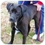 Photo 1 - Labrador Retriever/Boxer Mix Dog for adoption in kennebunkport, Maine - Stew