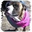 Photo 4 - American Staffordshire Terrier Dog for adoption in Peconic, New York - Romeo