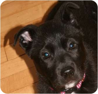 Labrador Retriever Mix Puppy for adoption in Andover, Massachusetts - LEO STILL WAITING FOR HIS HOME