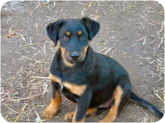 German Shepherd Dog Mix Puppy for adoption in Merritt, British Columbia - Puppy #10