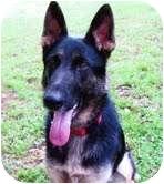 German Shepherd Dog Dog for adoption in Portland, Maine - Sadie
